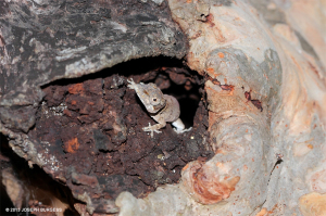 Female Anole lizards often use natural holes in the bark of trees to lay their eggs - Joseph Burgess