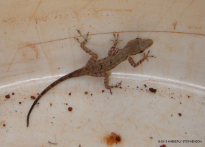 "<span class=""un-italicize"">Anolis opalinus</span> found in one of the research monitoring ""buckets"" - Kimberly Stephenson"