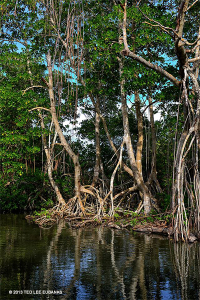 There are 4 species of Mangrove in Hellshire, they have a similar habit and habitat but are not closely related - Ted Lee Eubanks